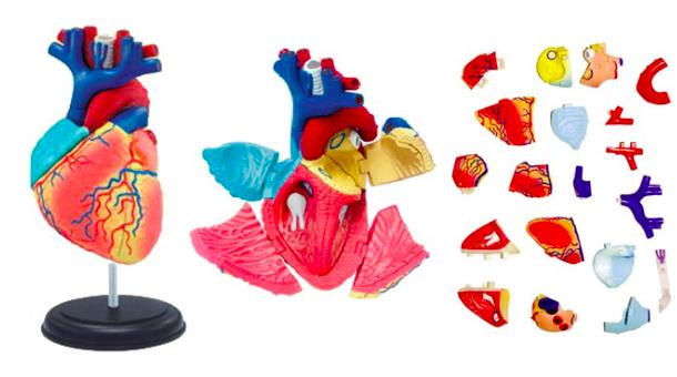 4D心臟解剖模型