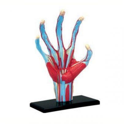 4D手掌解剖模型