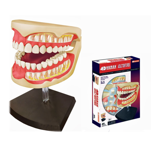 4D齒模解剖模型,4D Vision, 4D Human, 4D Master人體模型系列