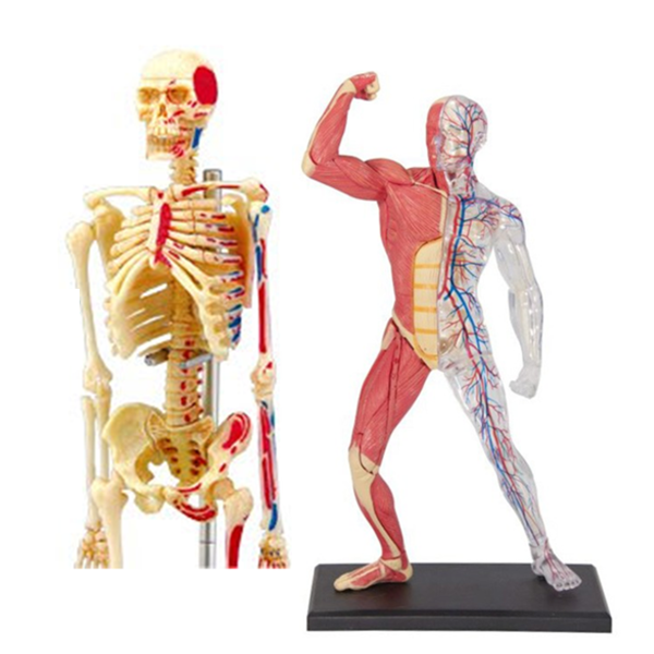 4D人體骨架與全身透析組合模型,4D Vision,4D Master