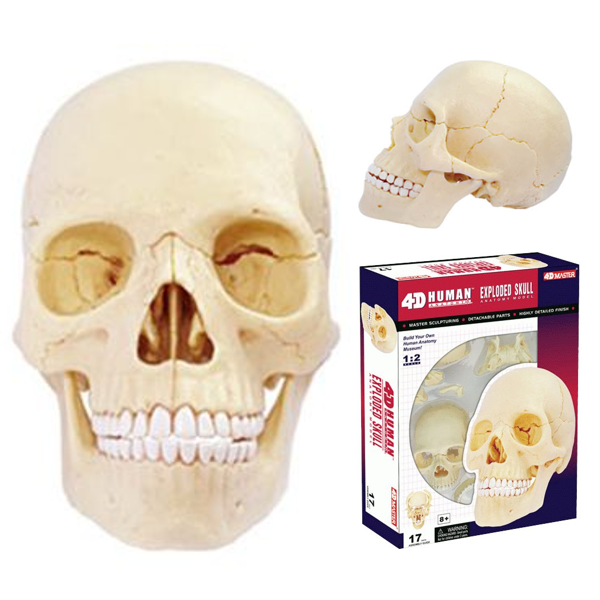 4D vision-4D人體頭骨組合模型