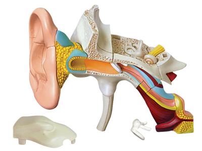 4d-human-anatomy-ear-anatomy-model-26055-02photo