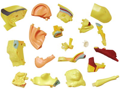 4d-human-anatomy-ear-anatomy-model-26055-03photo