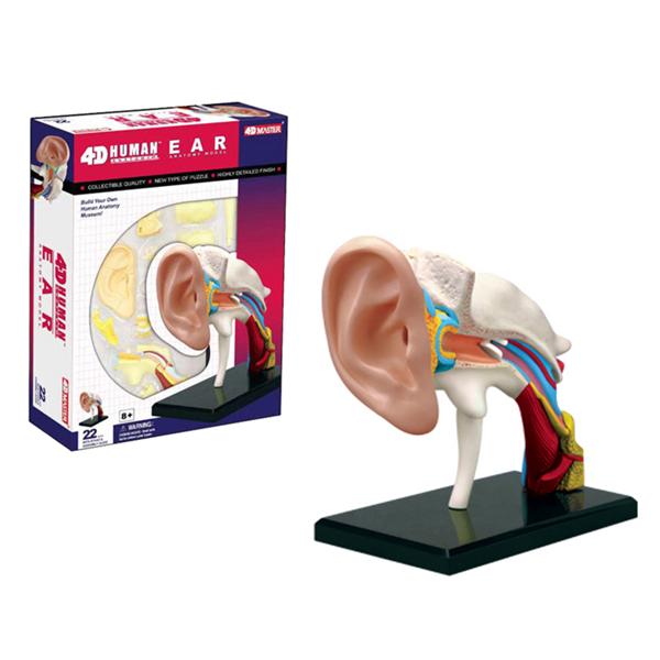 4D耳朵解剖模型