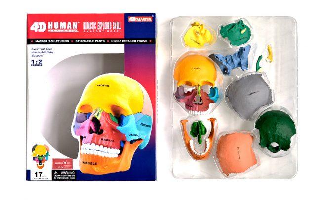 4D彩色教學頭骨模型_1