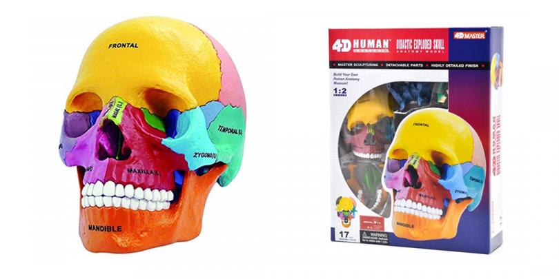 4D彩色教學頭骨模型_1080