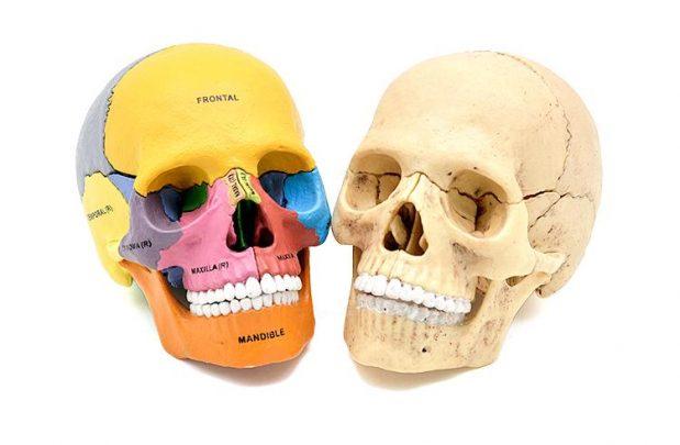 4D彩色教學頭骨模型_2